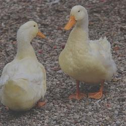 DuckDuckGo: il motore di ricerca che non traccia gli utenti